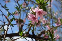 Close-up of pink peach bloom in spring Royalty Free Stock Photography