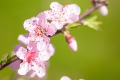 Close up of pink peach Blossom flowers on tree branch. Spring ti. Me Stock Images