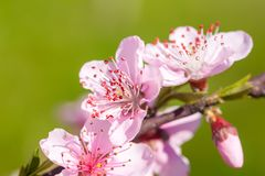 Close up of pink peach Blossom flowers on tree branch. Spring ti. Me Stock Image