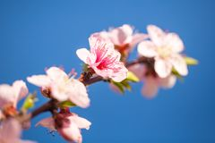 Close up of pink peach Blossom flowers on tree branch. Spring ti. Me Royalty Free Stock Photography
