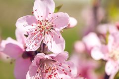 Close up of pink peach Blossom flowers on tree branch. Spring ti. Me Royalty Free Stock Photo