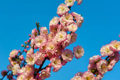 The close-up pink peach blossom Royalty Free Stock Photos