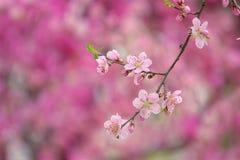 Peach flower stock image
