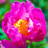 Close up of pink Peony flower petals on natural background. Royalty Free Stock Photos