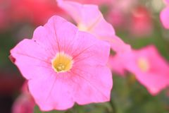 Close - up of pink Petunia flower on blurred background royalty free stock photography