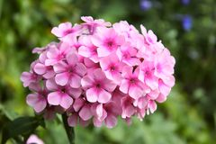 Close up pink phlox. Flower in garden Royalty Free Stock Image