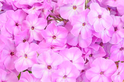 Close up pink phlox flowers Stock Photography