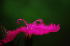 A close up of pink pistils of  Dianthus chinensis Stock Images