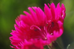 A close up of pink pistils of  Dianthus chinensis Stock Photos