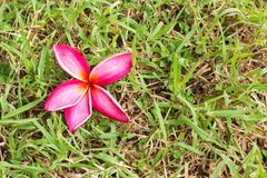 Close up Pink Plumeria on grass Stock Photos