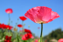 Close up pink poppy shirley flower and blue sky background. Royalty Free Stock Photos