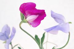 Close-up of pink and purple delicate sweet pea flowers. Close-up of pink and purple delicate flowers of sweet pea Lathyrus odoratus, against white background Royalty Free Stock Images