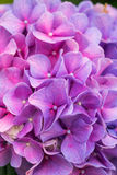 Close-up pink and purple Hydrangea flower in a garden Royalty Free Stock Photo