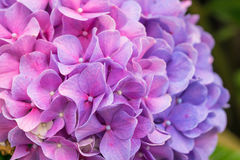 Close-up pink and purple Hydrangea flower in a garden Royalty Free Stock Images