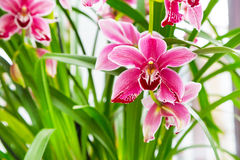 Close up pink, purple and white orchid flower branch background macro Royalty Free Stock Images