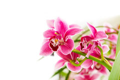 Close up pink, purple and white orchid flower branch background macro Royalty Free Stock Image