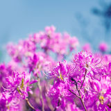 Close up of pink rhododendron flowers with blurred background Royalty Free Stock Photography