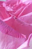 Close up of pink rose Royalty Free Stock Images