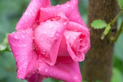 Close up of pink rose Royalty Free Stock Photography