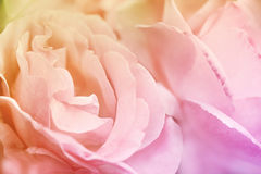 Close up of pink rose. Abstract flower background. Flowers made with color filters Stock Photos