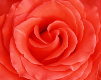 Close up pink rose Royalty Free Stock Photos