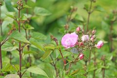 Pink rose blooming in garden. Close up Pink rose blooming in garden stock photography