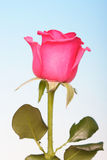 Close-up of pink rose on blue background Royalty Free Stock Photography
