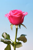 Close-up of pink rose on blue background Stock Photography
