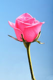 Close-up of pink rose on blue background Stock Photo