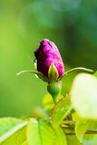 Close-up of pink rose bud Royalty Free Stock Image