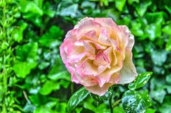 Raindrops on a pink rose Royalty Free Stock Photography