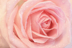 Close up of a pink rose Stock Photo