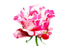 Close up pink rose flower isolated on white background. Close up Rose flower isolated on white background Stock Photography