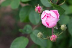 Close-up pink rose flower peak blooming in the garden or park. Beautiful pink roses on tree bush leaves stock photos