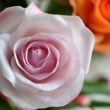 Close up of pink rose flower Stock Image