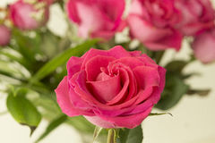 Close up pink rose in front of the image. On the colorful background of the bouquet of several roses one dark pink rose as a subject of the image. this one rose Royalty Free Stock Photography
