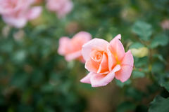 Close-up of pink rose Stock Photography