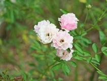 Pink rose in the garden stock photos