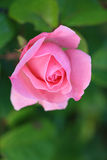 Close-up of pink rose in a garden. stock photography