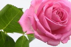 Close up of pink rose heart Royalty Free Stock Image