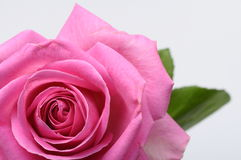 Close up of pink rose heart Stock Images