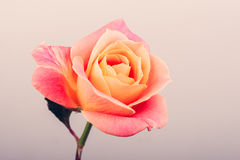 Close-up  of pink rose Royalty Free Stock Image