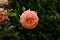 Beautiful rose in garden. stock photography