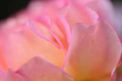 Close up of a pink rose Royalty Free Stock Photo