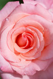 Close-up pink rose Royalty Free Stock Photography