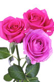 Close-up of pink rose on white background Royalty Free Stock Photos