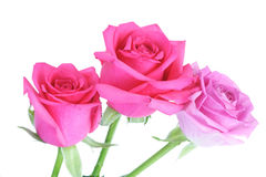 Close-up of pink rose on white background Stock Photo