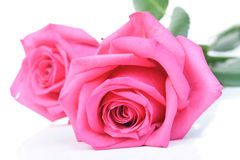 Close-up of pink rose on white background Stock Photography