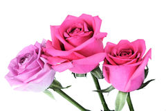Close-up of pink rose on white background Stock Photos