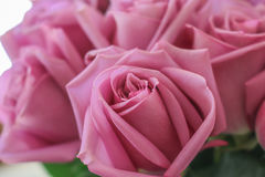 Close up of pink roses. Stock Photography